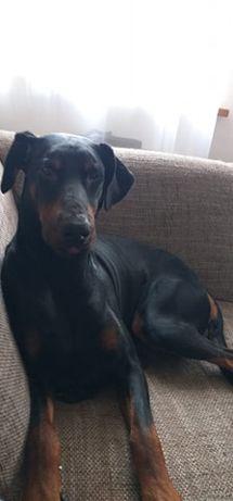 Pies Doberman do adopcji