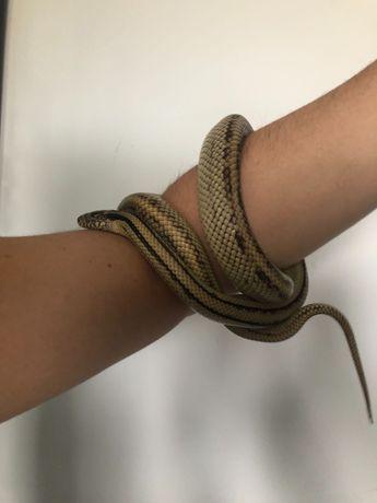 Wąż zbożowy hybryda