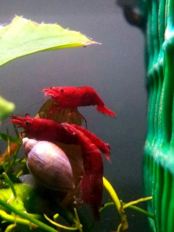Krewetki Sakura red