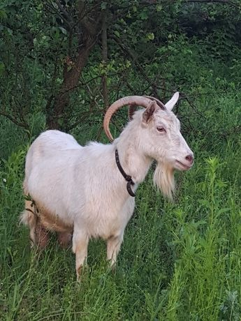 Молодняк зааненских коз