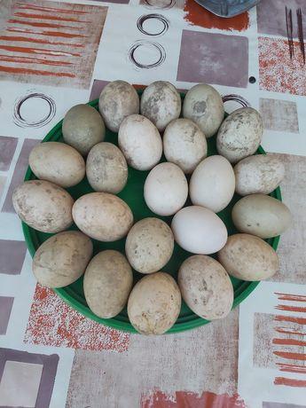 Яйця індокачки інкубаційні