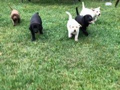 Witam wszystkich miłośników labradorów