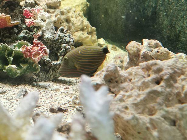 Balistapus undulatus akwarium morskie