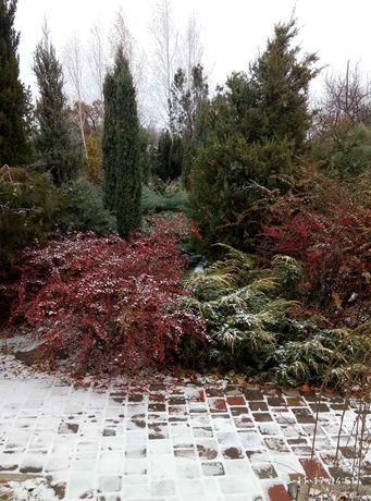 Хвойные  растения (излишки)из собственного декоративного сада.