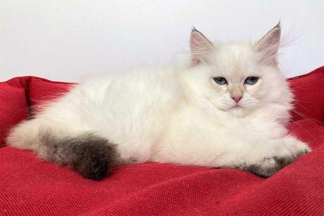 Бpитанcкиe котята золотые шиншилла-поинты