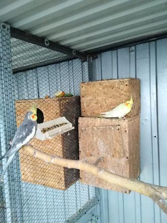 Papugi nimfy para