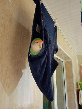Неразлучник, попугай