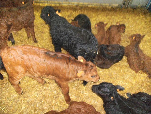 Mięsne Jałówki, Byczki, Alpejskie, Simental, Limusine