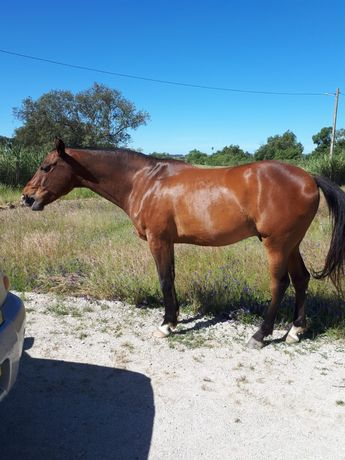 Cavalo Anglo-arabe