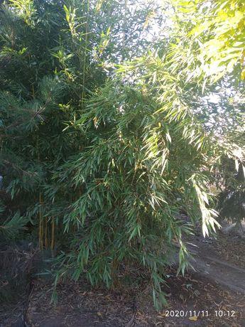 Бамбук морозоустойчивый