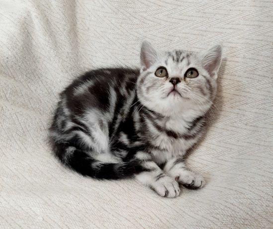 Плюшевые котята мрамор и шиншиленок.