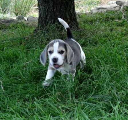 Beagle szczeniak piesek blue(niebieski)