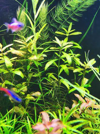 Nadwódka roślina akwariowa