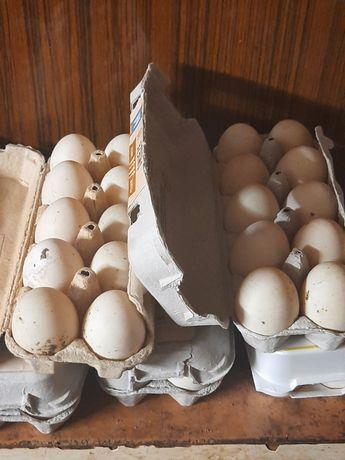 Sprzedam kacze jajka