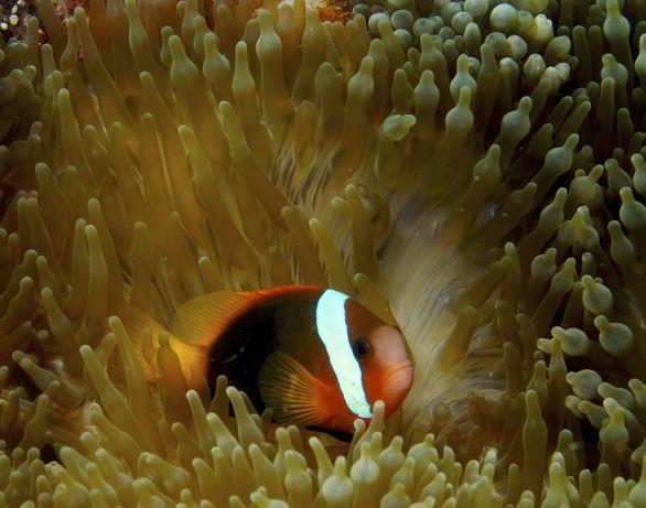 Amphiprion frenatus błazenek pomidorowy akwarium morskie