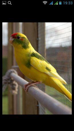 Папуги новозеландськиі