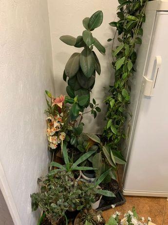 Фикус,кактус,денежное дерево.