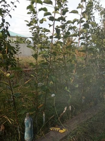 саженцы яблонь. винограда