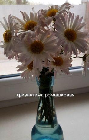 Хризантема ромашковая