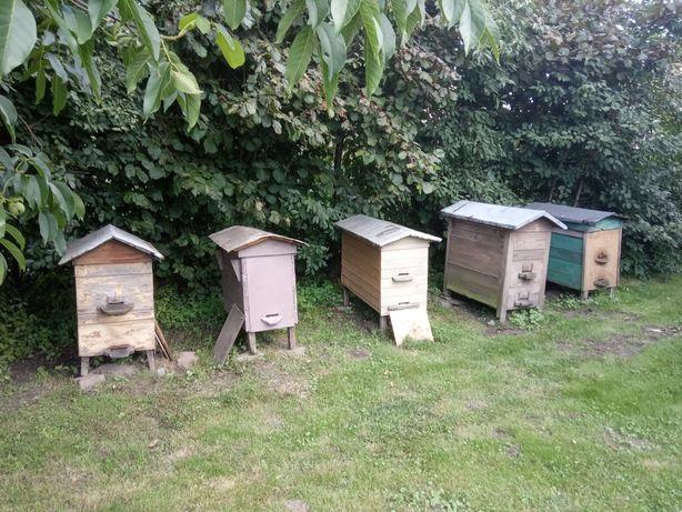 Pszczoły, ule warszawskie zwykłe, rodziny pszczele