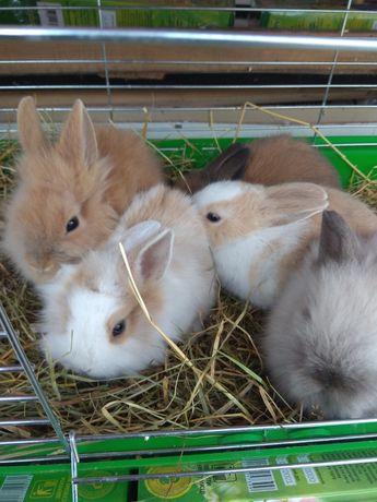 Декоративні карликові кролики