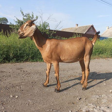 86 % Англо - нубийская коза