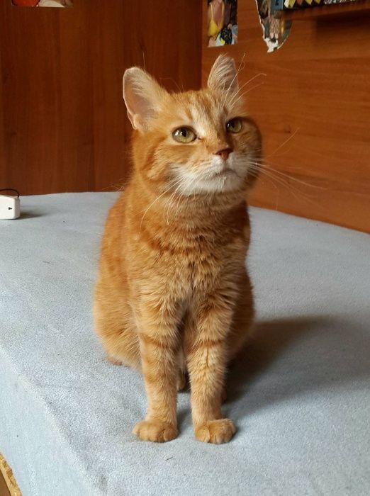 Огенно-рыжая кошка в хорошие руки Киев - изображение 1