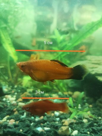 Продам рыбок Меченосца / Рибки Меченосець