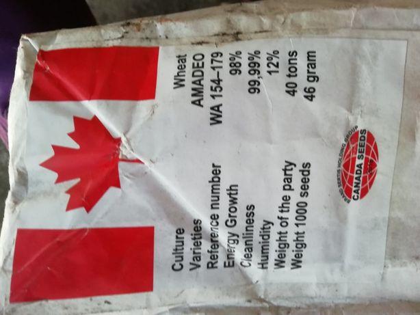 Продам посевной материал канадских пшеницы и ячменя двуручка и ярые