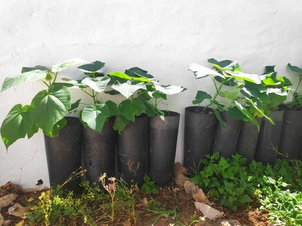 Paulownias ready to plant in a definitive location
