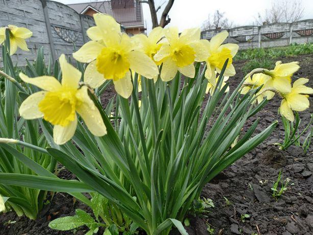 Нарцисс  жёлтый. Луковицы.