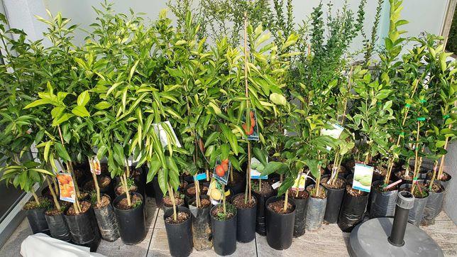 Arvores fruto,Laranjeiras, tangerineiras ,Limoeiros , Toranjas etc