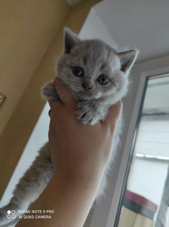 Продам кошеня скотіш -страйт