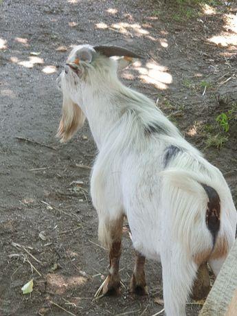 Koza 1.5 lat  cap miniaturka