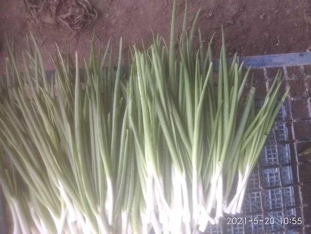 Продам зелену цибулю великий об'єм