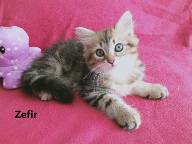Kocięta syberyjskie - rodowód FPL