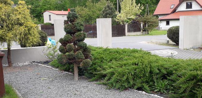 Koszenie trawy, żywopłoty ,tui,pielęgnacja ogrodu ogrodki rodo