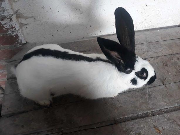 Króliki króliki .