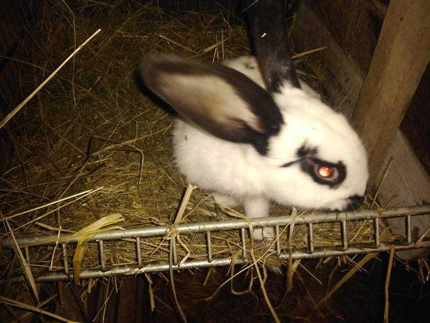 króliki młode samce i samiczki