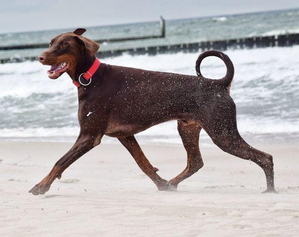 Doberman, pies 18 miesięcy - Black Fusion (FCI)