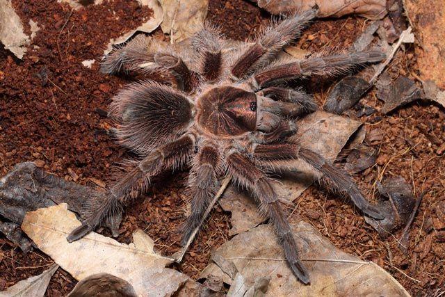 Ptasznik Phormictopus atrichromatus L4/L5