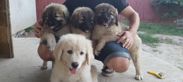 Срочно продам щенков Кавказской овчарки