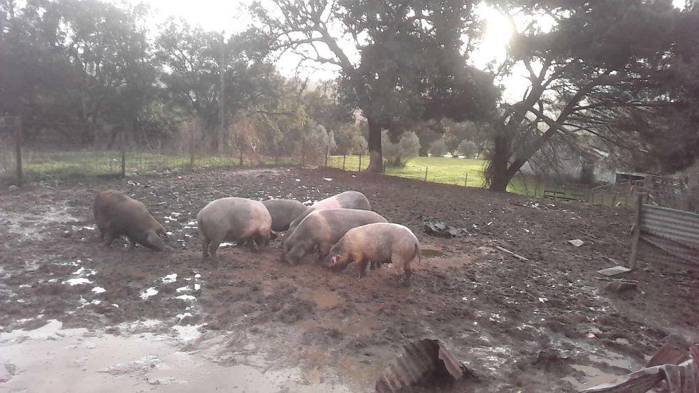 porcas gordas ......... União de Freguesias da cidade de Santarém - imagem 1