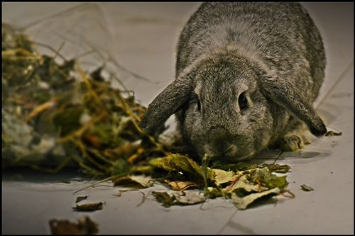 Mieszanka ziołowa /zioła dla królika / króliki karzełki TEDDY MINI LOP
