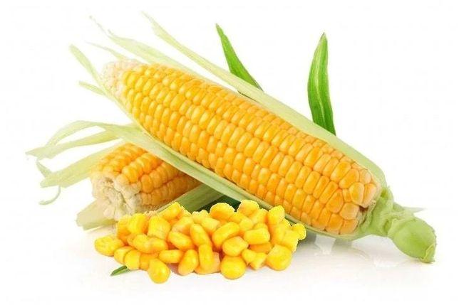 Насіння кукурудзи ДБ Хотин (Агровіта) семена кукурузы