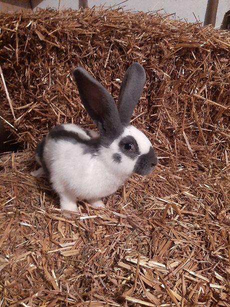 Sprzedam króliki Samce Olbrzym Srokacz Niemiecki