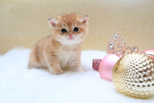 Британская Шиншилла золото плюшевые котята