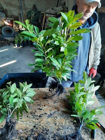 Laurowiśnia Rotundifolia
