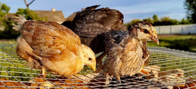 Курча просте підрощене