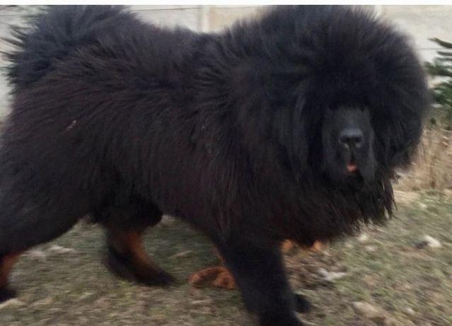 Mastif tybetański Rezerwacja 2021/2022